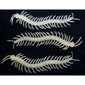"CC12 - 5.5"" Glow in the Dark Centipedes (48pcs @ $0.14/pc)"