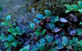 Gaia's World Ceremonial Herbs - Bearberry Leaf Arctostaphylos uva ursi