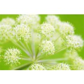 Gaia's World Ceremonial Herbs - Angelica Root Angelica archangelica